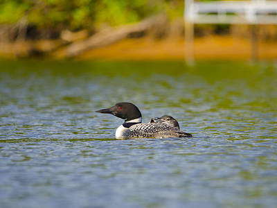 Sports Royalty-Free and Rights-Managed Images - August Loon and offspring by David Tennis