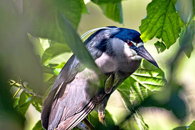 Photograph - Aukuu  Or Black Crowned  Night Heron by Dan McManus