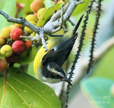 Photograph - Aukward Bananaquit Perch by Adam Jewell