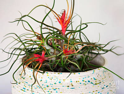Photograph - Aunt Tuffy's Air Plant by Sally Simon