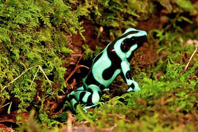 Anurans Photograph - Auratus Dart Frog Dendrobates Auratus by David Northcott