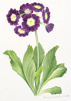 Flora Painting - Auricula by Sally Crosthwaite