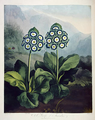 Auricula Photograph - Auriculas by British Library