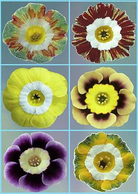 Auricula Photograph - Auriculas (primula Auricula) by Archie Young