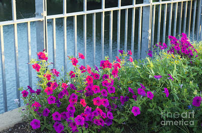 Photograph - Flower - Austin Petunias  -  Luther Fine Art by Luther Fine Art