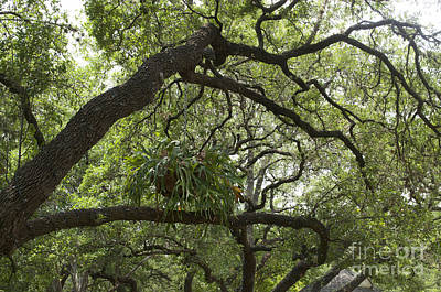 Photograph - Austin Texas - Bending Tree With Air Plant - Luther Fine Art by Luther Fine Art