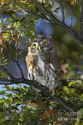 Pygmy Owl Wall Art - Photograph - Austral Pygmy Owl by John Shaw