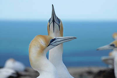 Hawkes Bay Photograph - Australasian Gannets (morus Serrator by David Wall