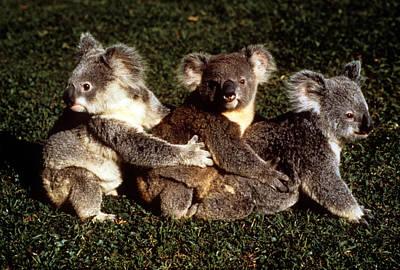 Photograph - Australia - Koala Fun by Jacqueline M Lewis