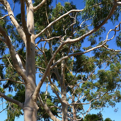 Photograph - Australian Gumtree 1.3 by Cheryl Miller