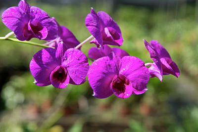 Wet Orchids Photograph - Australia, Northern Territory, Darwin by Cindy Miller Hopkins