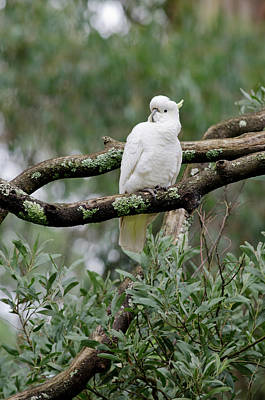 Cockatoo Photograph - Australia, Victoria, Melbourne by Cindy Miller Hopkins