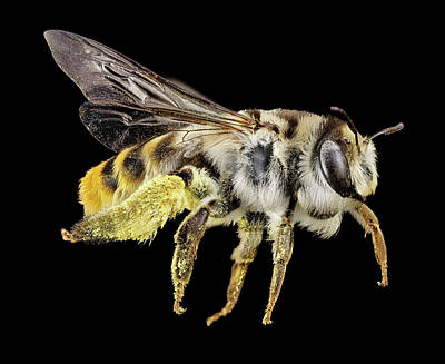 Australian Bees Photograph - Australian Bee by Us Geological Survey