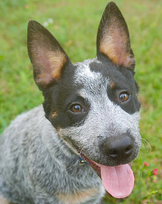 Photograph - Australian Cattle Dog by Larah McElroy