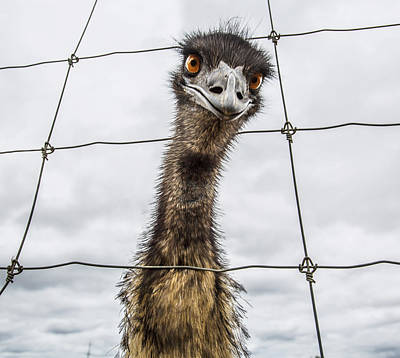 Emu Wall Art - Photograph - Australian Emu Dromaius Novaehollandiae by David Trood