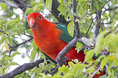 Photograph - Australian King Parrot by Nicholas Blackwell