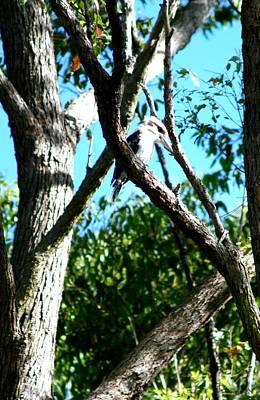 Photograph - Australian Kookaburra by Phoenix De Vries