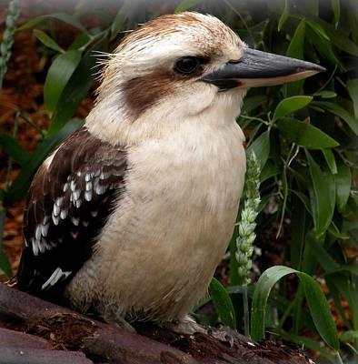 Australian Kookaburra Original by Sandra Sengstock-Miller