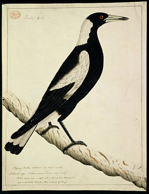 Magpies Photograph - Australian Magpie by Natural History Museum, London