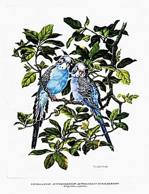 Lovebird Digital Art - Australian Parakeets by Sagarin