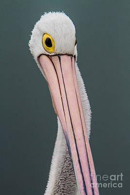 Photograph - Australian Pelican Portrait by Gabor Pozsgai