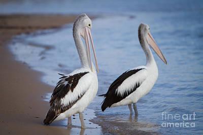 Photograph - Australian Pelicans by Craig Dingle