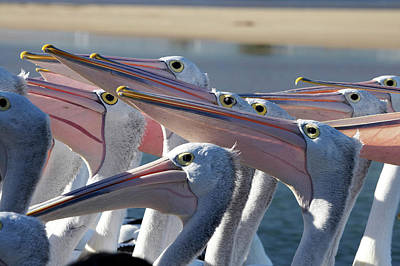 The Entrance Photograph - Australian Pelicans (pelecanus by David Wall