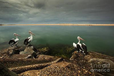 Photograph - Australian Pelicans Sunbathing by Gabor Pozsgai