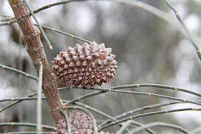 Photograph - Australian Pine by A K Dayton