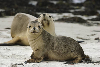 Australian Sea Lion Photograph - Australian Sea Lion And Pup Kangaroo Isl by Gerry Ellis