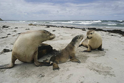 Australian Sea Lion Photograph - Australian Sea Lion And Pups Kangaroo by Gerry Ellis