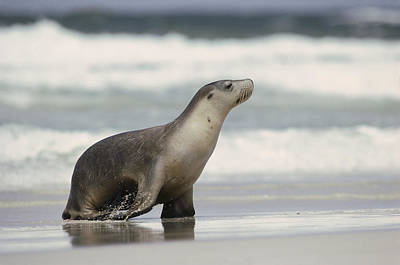 Australian Sea Lion Photograph - Australian Sea Lion Female Kangaroo by Gerry Ellis