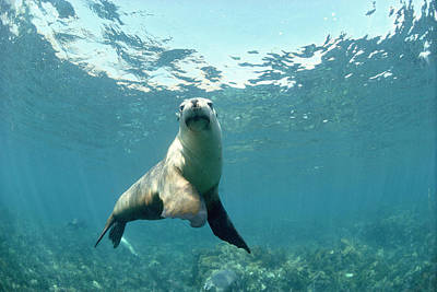 Australian Sea Lion Photograph - Australian Sea Lion by Jeff Rotman