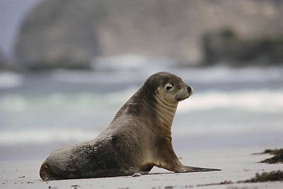 Australian Sea Lion Photograph - Australian Sea Lion On Beach Kangaroo by Gerry Ellis