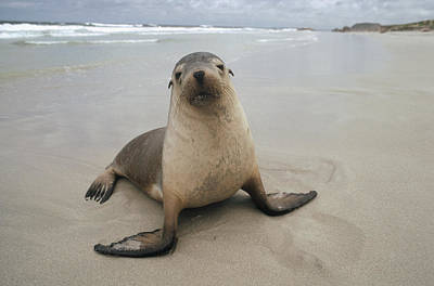 Australian Sea Lion Photograph - Australian Sea Lion Portrait by Gerry Ellis