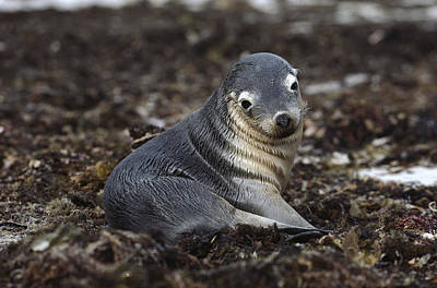 Australian Sea Lion Photograph - Australian Sea Lion Pup In Seaweed by Gerry Ellis