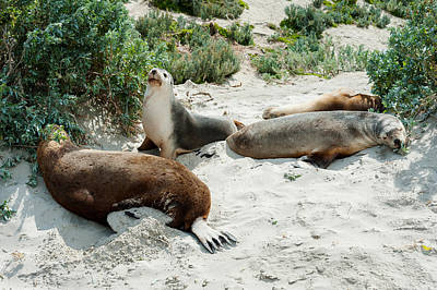 Australian Sea Lion Photograph - Australian Sea Lions Neophoca Cinerea by Panoramic Images