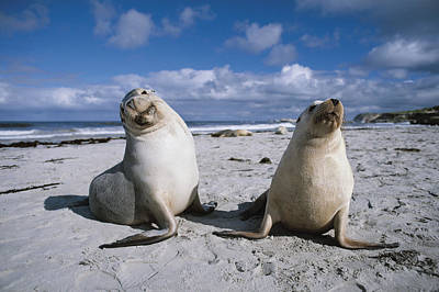 Australian Sea Lion Photograph - Australian Sea Lions On Beach Kangaroo by Hiroya Minakuchi