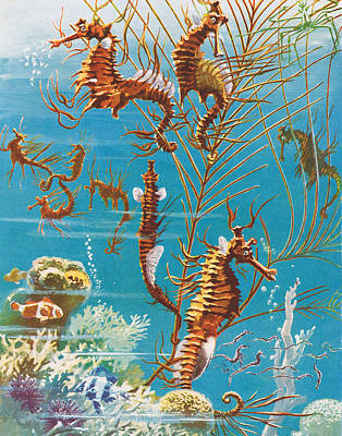 Aquatic Life Drawing - Australian Seahorses by Leonard Robert Brightwell