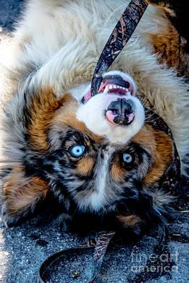 Photograph - Australian Shepherd by Cheryl Baxter