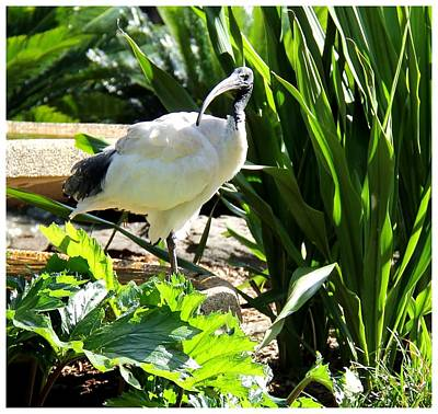 Photograph - Australian White Ibis by Frank Wickham