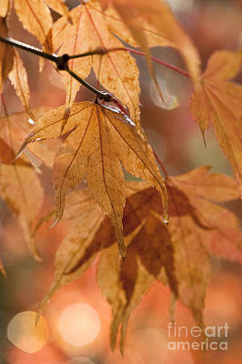 Close Focus Nature Scene Photograph - Autumn Acer by Anne Gilbert
