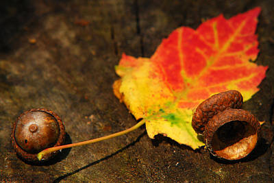 Photograph - Autumn Acorns by Christina Rollo