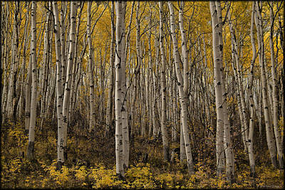 Photograph - Autumn Aspen by Erika Fawcett