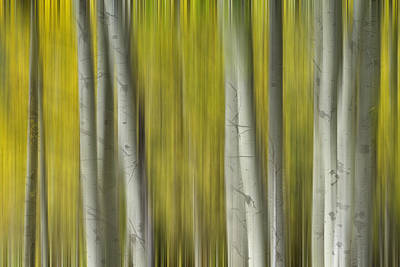 Surrealism Royalty-Free and Rights-Managed Images - Autumn Aspen Tree Trunks In Their Glory Dreaming by James BO Insogna