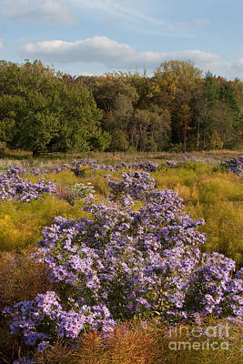 Photograph - Autumn Asters  by Chris Scroggins