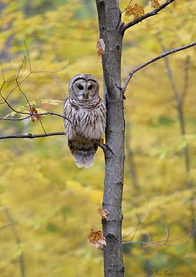 Autumn Barred Owl Art Print