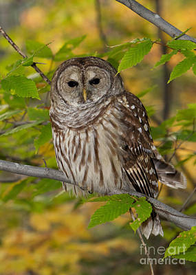 Of Bittersweet Photograph - Autumn Barred Owl by Joshua Clark