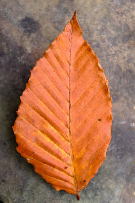 Photograph - Autumn Beech Leaf On Stone Four by Chris Bordeleau