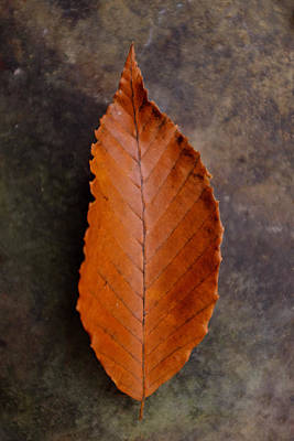 Photograph - Autumn Beech Leaf On Stone One by Chris Bordeleau